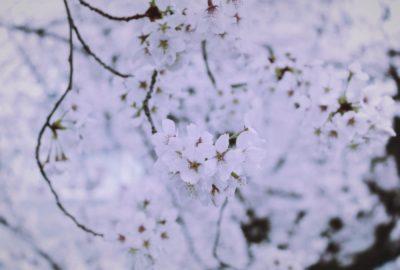 桜、sakura,kyoto
