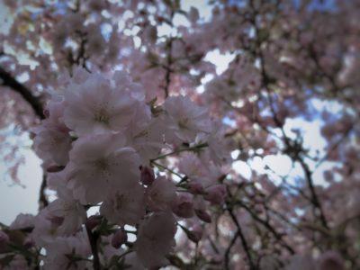 桜、京都御所の桜
