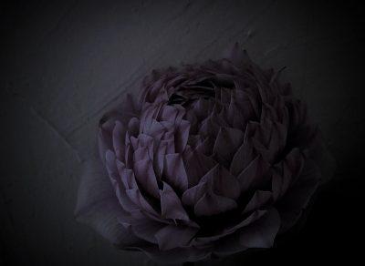 八重のアネモネ,anemone