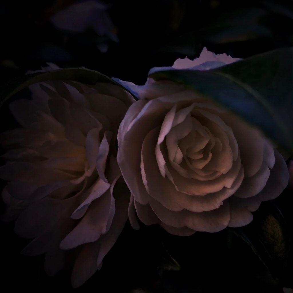 azannka,山茶花,flower