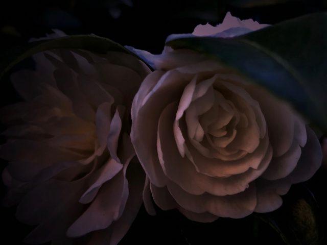 立春,山茶花,2月