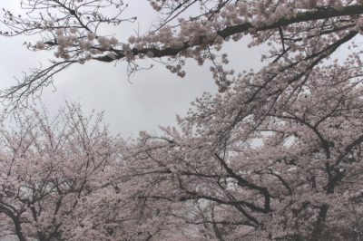 sakura,kyoto,京都の桜、photo