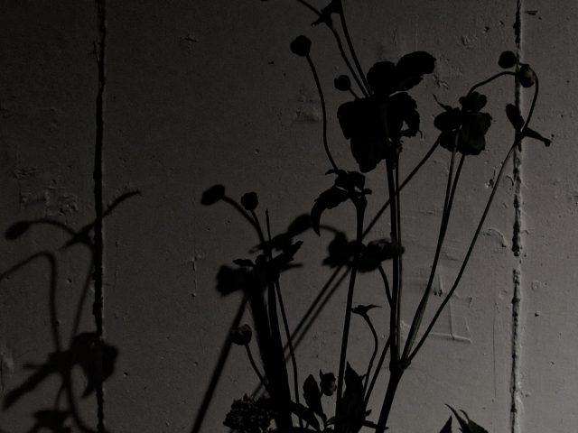 花の影 ,秋明菊,flower