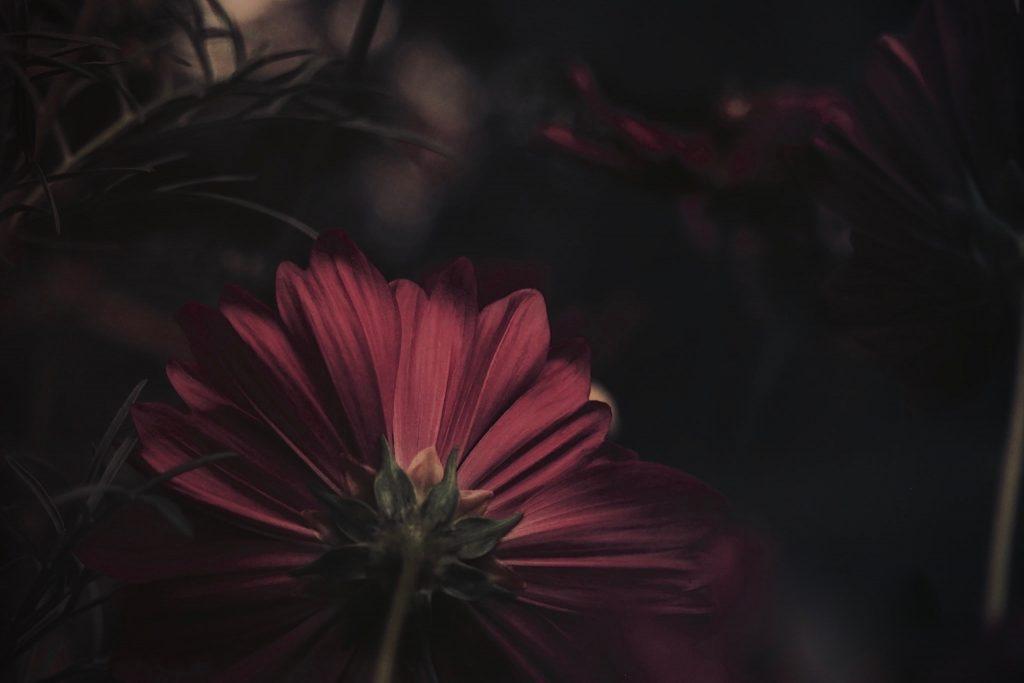 秋桜、kosmos,秋の花