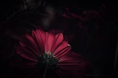 コスモス,cosmos,flower