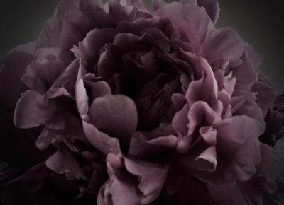 芍薬,シャクヤク,flower