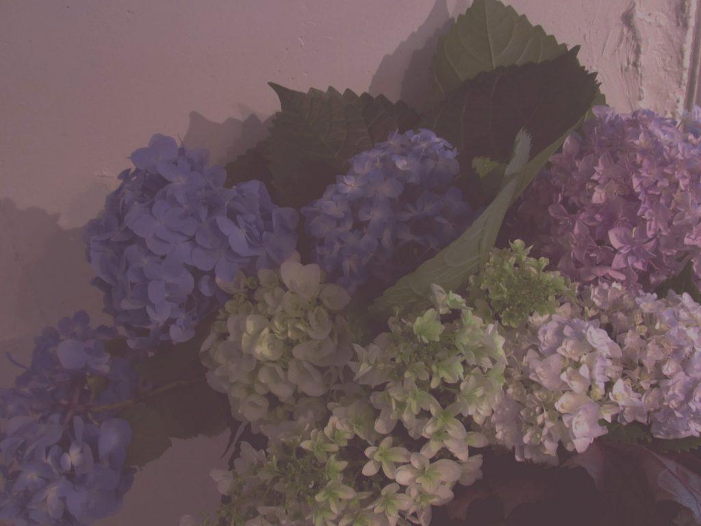 紫陽花の花を摘む