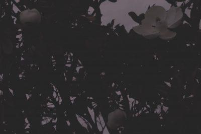 大山木の花,magnolia