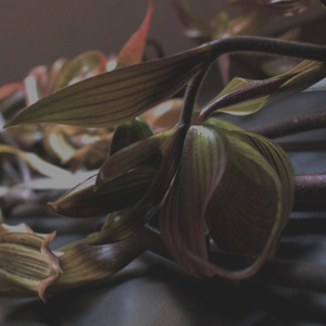 orchid,パフィオ