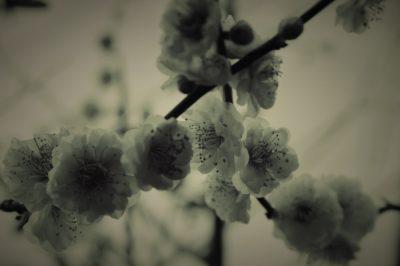 photo,梅の写真
