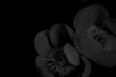 花, 芍薬,牡丹,花の写真