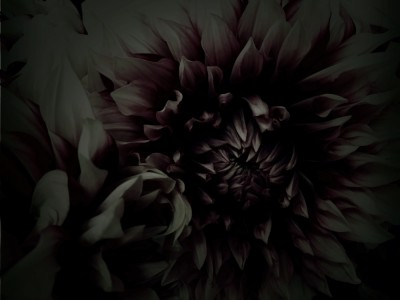 flower,Dahlia,photo