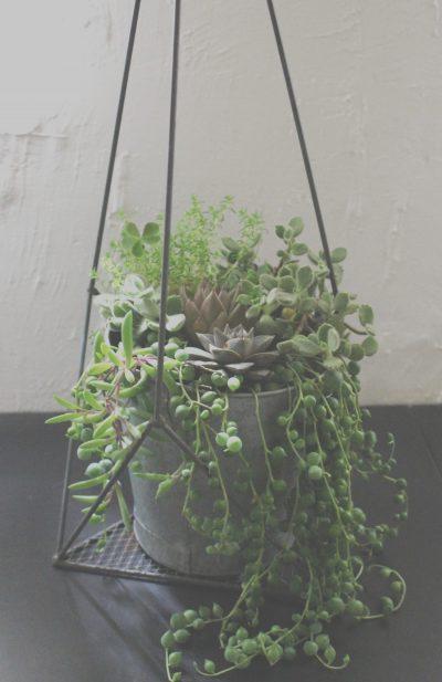 succulent,多肉植物,Sedum