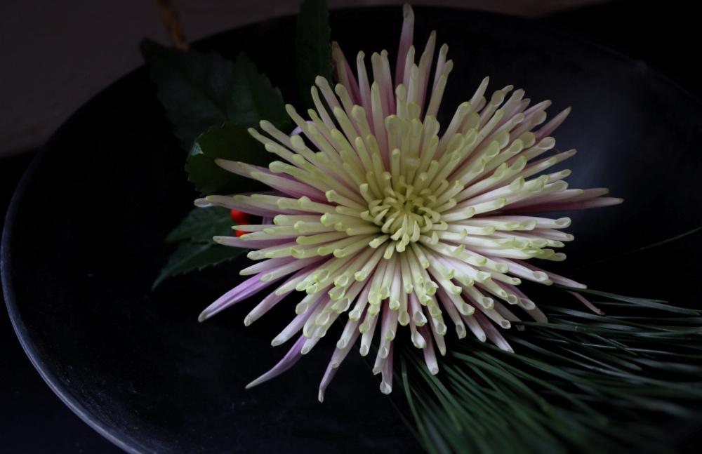 japan,菊,flower