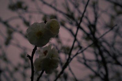 ume,spring,flower