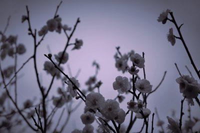 梅の花,梅,plumflower