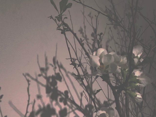 shiroboke,白ボケの花